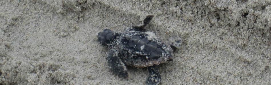 Baby Turtle Slider