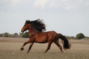 Sand Bar Lecture Series: The Wild Horses of the East Coast with Suzanne Inmen