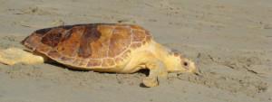 Turtle Talks @ Museum of Coastal Carolina