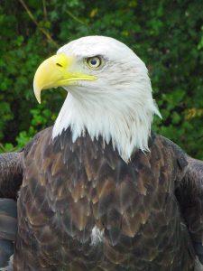 Our National Bird -- The Bald Eagle @ Museum of Coastal Carolina