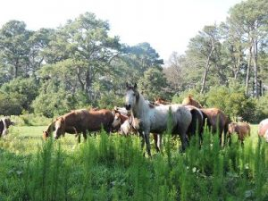 The Wild Horses of the East Coast presented by Sue Immen @ Museum of Coastal Carolina
