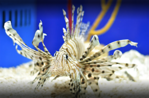 Invasion of the Lionfish presented by Jamie Justice @ Museum of Coastal Carolina